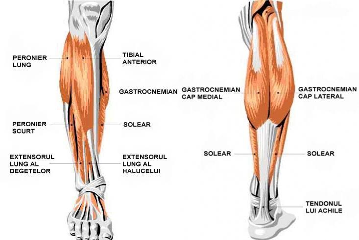 Muschii gambei