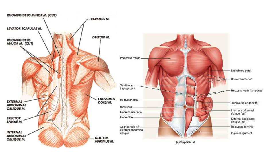 abdominal - core muscles